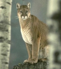 cougar2.jpg